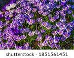 Blue Purple White Crocuses...
