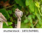 One Cute Chubby Sparrow Restin...
