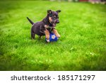 Stock photo small puppy mongrel on background of green grass outdoors play with ball 185171297