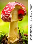 Fly agaric in nature scene. fly ...