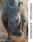 Close Up Image Of A White Rhino ...