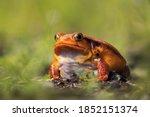 False Tomato Frog  Dyscophus...