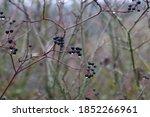 Black Berries Ripen On Bushes...