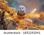 He eurasian scops owl  otus...