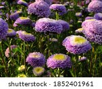 Violet Aster Flowers Background....