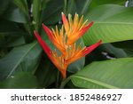 A Heliconia Flower In The...