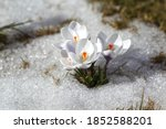 Spring Flowers   White Crocuses ...