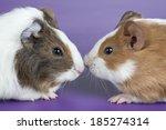 guinea pig | Shutterstock . vector #185274314