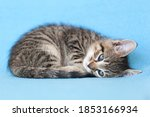 Small Brown Tabby Kitten Curle...