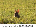 Bunny Hiding In Grass With Sun...