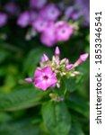 Small photo of Phlox Purple Eye Flame flowers - Latin name - Phlox paniculata Purple Eye Flame