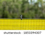 A Barn Swallow Perched On A...