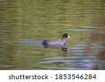 Sunny View Of Eurasian Coot...
