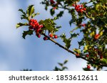 Branch of a holly tree with...
