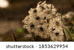 Clematis In Fruit. Cluster Of...