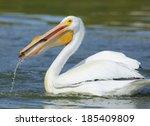 american white pelican. | Shutterstock . vector #185409809