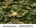 Bright White Water Lily And...