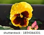 Yellow Pansy  A Species Of The...