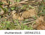 Small photo of American Woodcock, Scolopax minor, sitting on nest and egg, Central Pennsylvania, United States