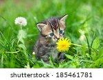 Stock photo little kitten in the grass sniffing dandelion 185461781