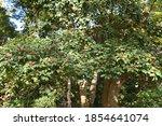 Ilex Rotunda Berries  ...