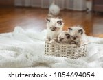 Fluffy Three Kittens On White...