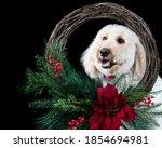 White Standard Poodle Dog...