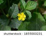 Indian Strawberry Flower  ...