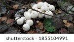 Lycoperdon Perlatum Group Of...