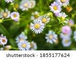 eastern daisy fleabane flower ... | Shutterstock . vector #1855177624