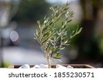 Sprout Of Olive Tree With Gree...
