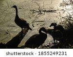 Silhouette Of Geese On The Ban...