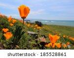 California Orange Poppy Flower