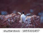 Common Murre On The Helgoland...