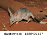 Small photo of Captive Bilby on red soil