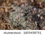 Pink Head Inflorescences Bloom...