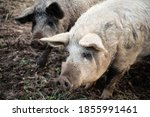 black and white pigs on outdoor ... | Shutterstock . vector #1855991461