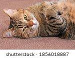 A Beautiful Tabby Cat Lies...