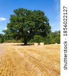 Deciduous Oak Tree Grows In An...