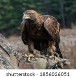 A Golden Eagle Is Perched On...