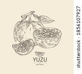 background with yuzu  fruts ... | Shutterstock .eps vector #1856107927