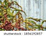 Decorative Autumn Grapes On A...