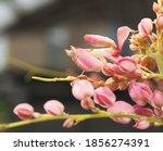 Walking Flower Mantis  Pink...