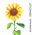 Sunflower Watercolor Clipart....