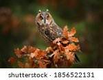 Owl in orange forest  yellow...