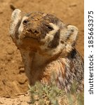 Small photo of An American Badger covered in dirt.
