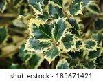 """Ilex Aquifolium """"argentea..."""