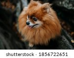 Pomeranian Dog In A Beautiful...