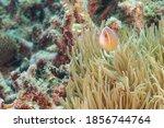 Pink Skunk Clownfish Or Pink...