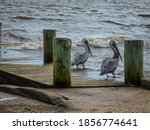 Two Florida Brown Pelicans...